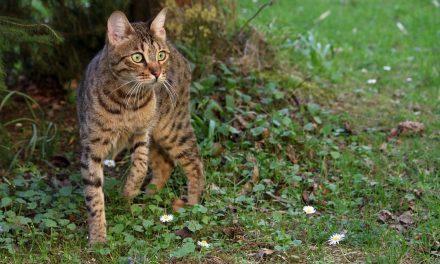 Kucing Hutan – Jenis, Habitat, Sebaran dan Perlindungan