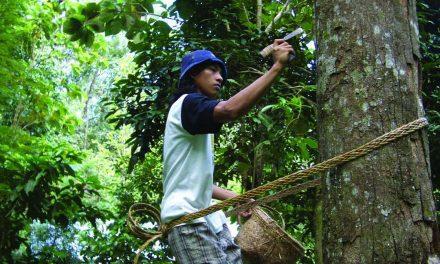 Pohon Damar dan Penyadapan Getah