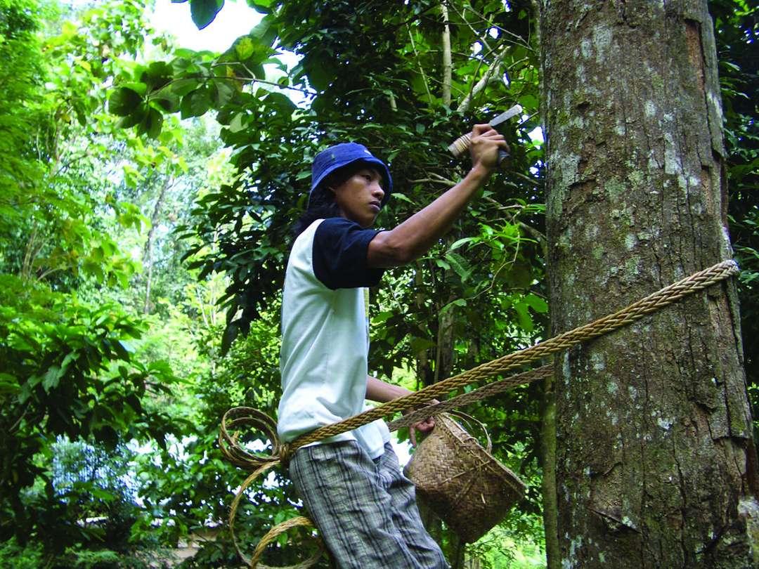 Pohon Damar Morfologi Manfaat Budidaya Penyadapan Getah