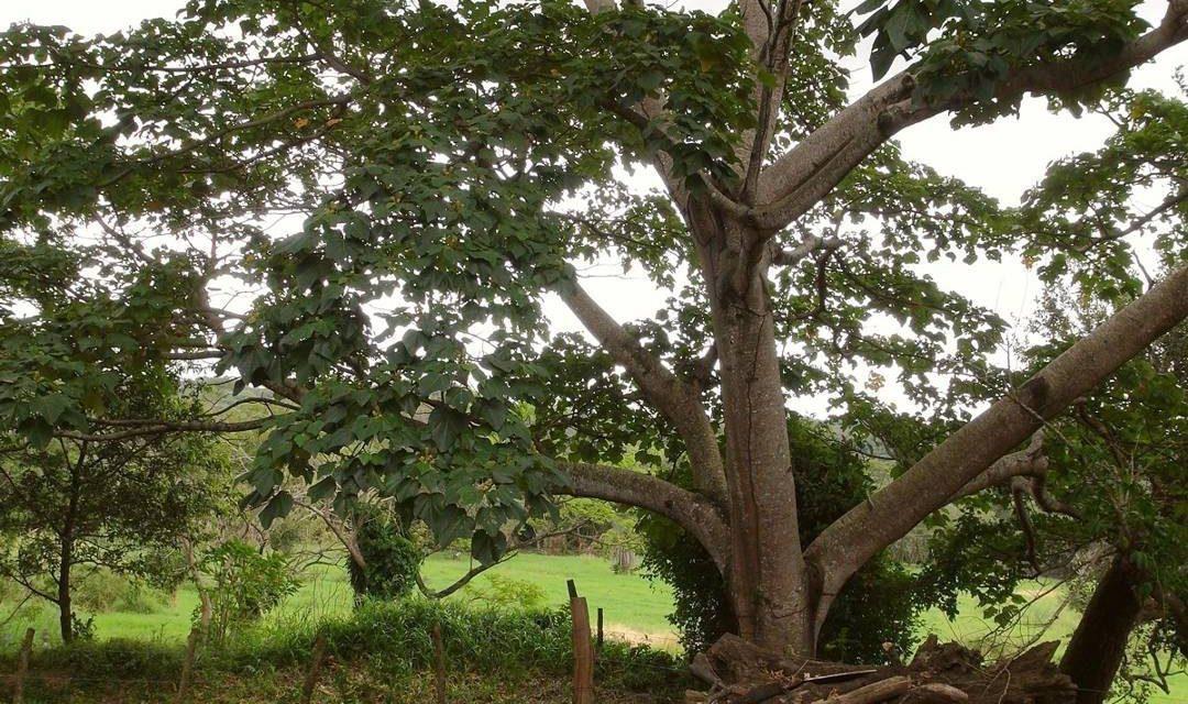 Pohon Balsa – Jenis, Budidaya dan Harga