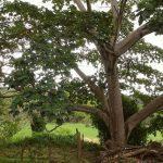 Pohon Balsa - Jenis, Budidaya dan Harga