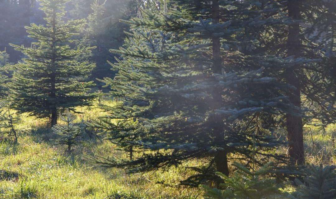 Pohon Cemara – Ciri, Manfaat dan Ragam Jenis