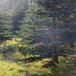 Pohon Cemara - Ciri, Manfaat dan Ragam Jenis