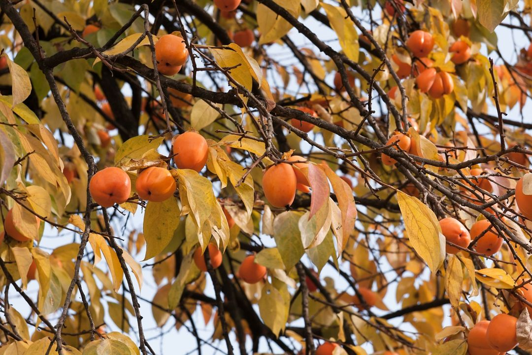 pohon kesemek