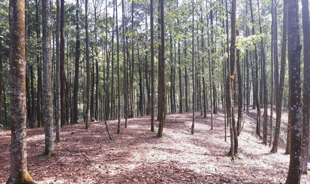 Pohon Meranti – Ciri, Kayu, dan Ancaman Kepunahan