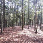 Pohon Meranti - Ciri, Kayu, dan Ancaman Kepunahan