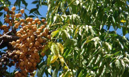 Pohon Sungkai – Ciri, Manfaat dan Budidaya
