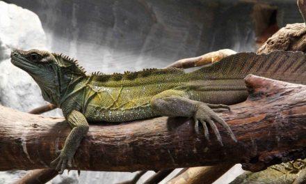 Soa-soa Layar – Reptil Purba Asli Indonesia Timur
