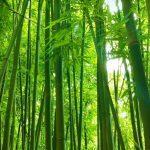 Bambu - Ekologi, Manfaat, Budidaya & Tanaman Konservasi
