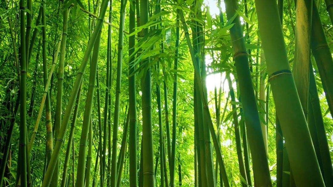 Bambu – Ekologi, Manfaat, Budidaya & Tanaman Konservasi