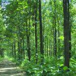 Pohon Jati - Habitat, Sebaran, Manfaat Kayu dan Budidaya