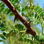 Pohon Akasia - Sebaran, Manfaat Kayu dan Cara Budidaya