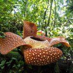 Flora / Tumbuhan Endemik Indonesia (Lengkap)