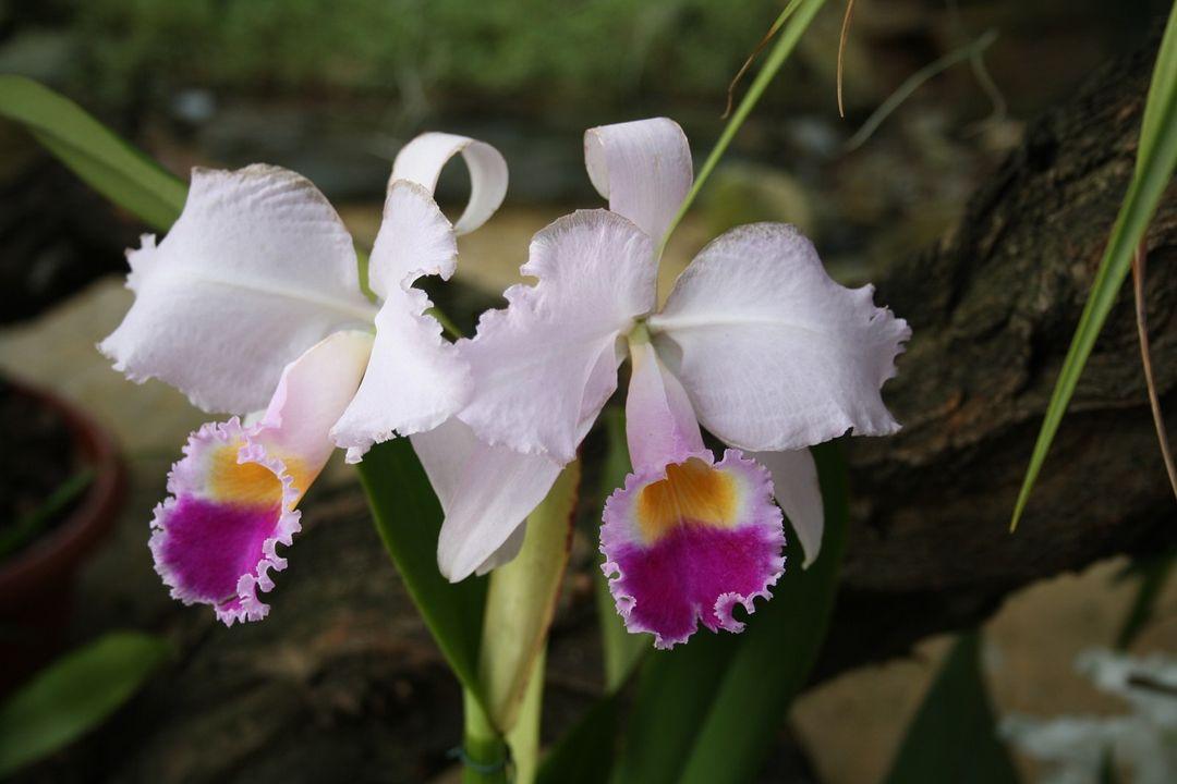 10 Bunga Langka Di Indonesia Dilindungi