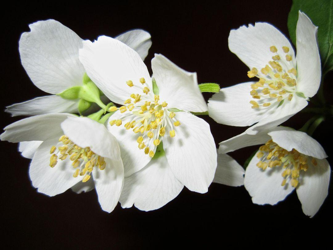 bunga puspa