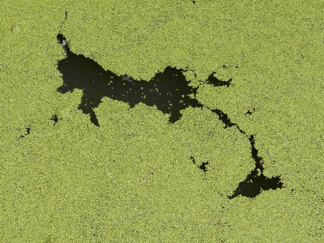 alga hijau