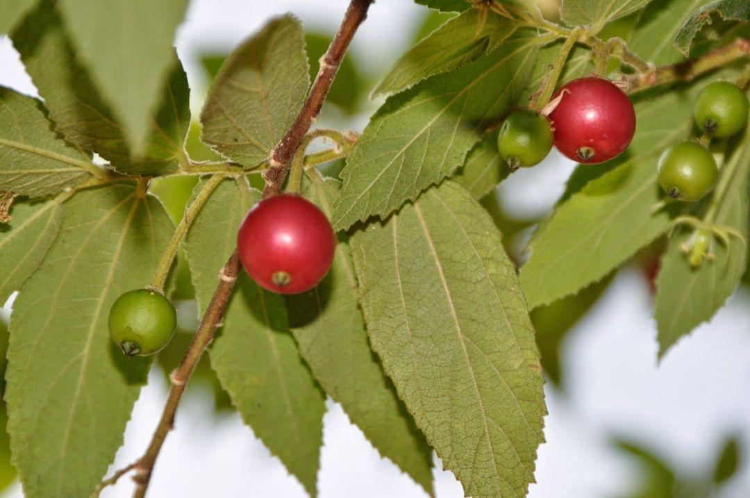 buah talok
