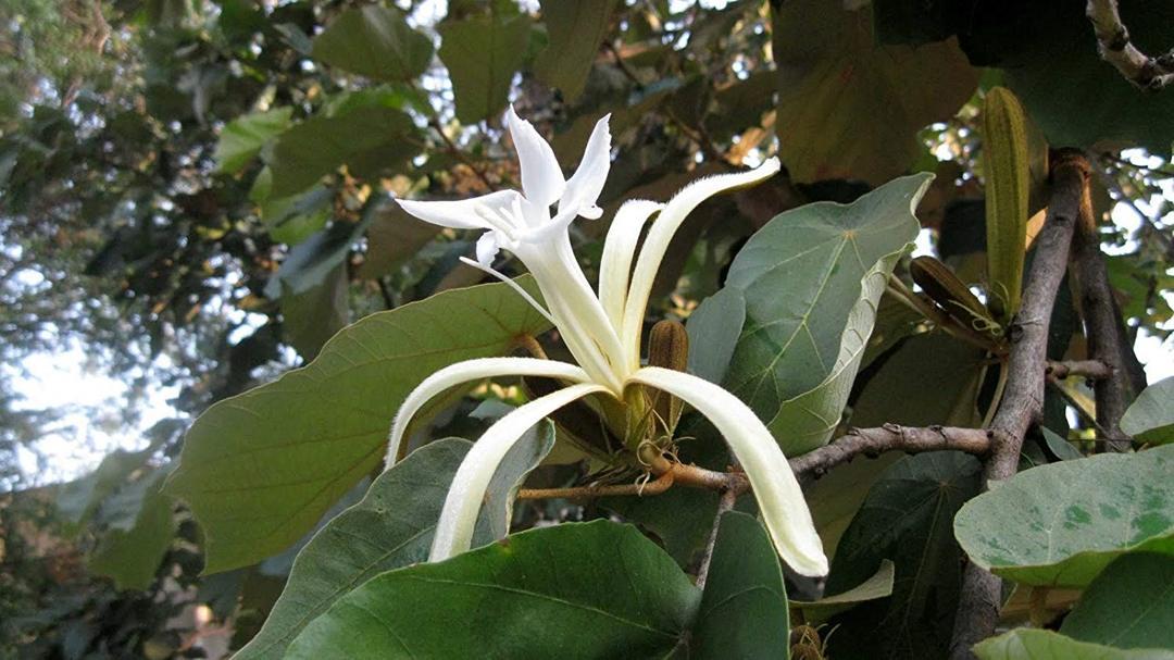 bunga bayur