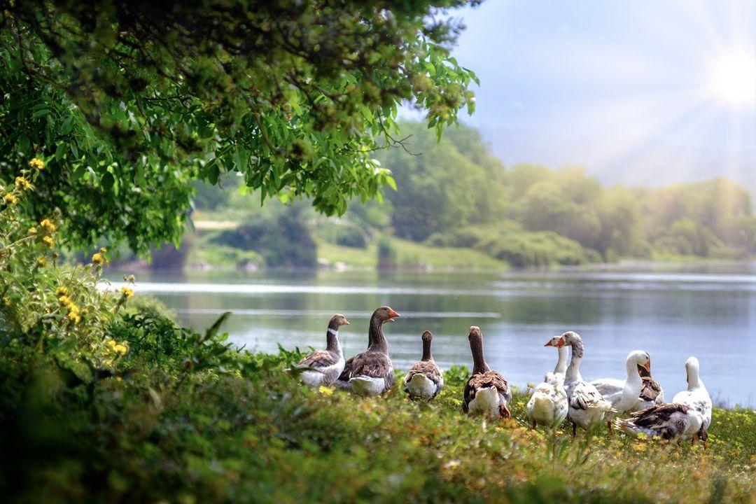 danau dan bebek