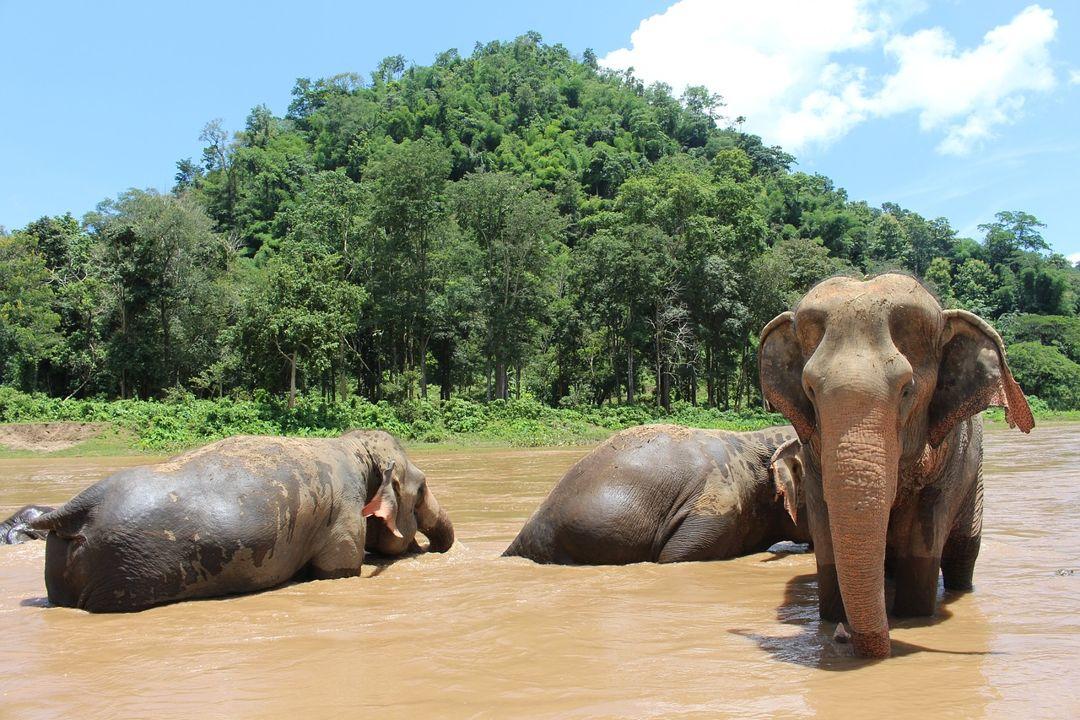 gajah mandi