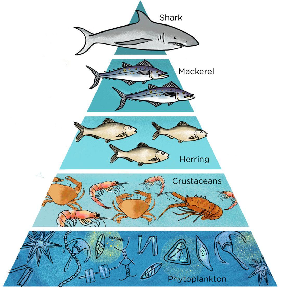 piramida rantai makanan di laut