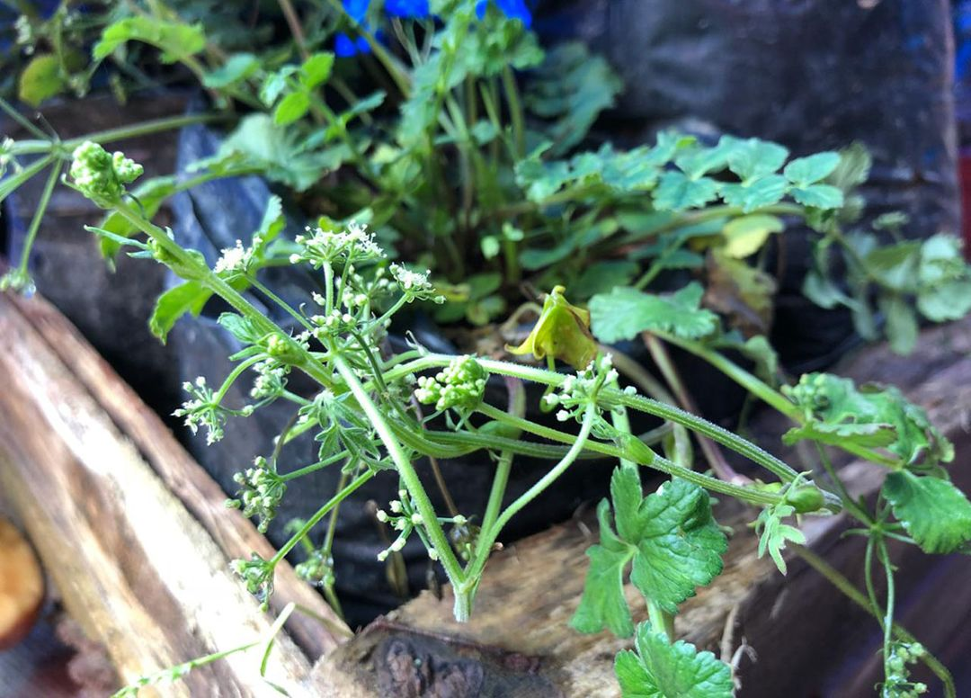 tanaman purwaceng