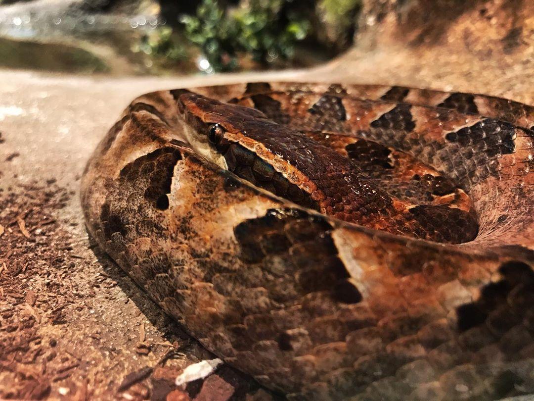 ular edor
