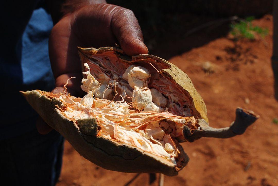 buah baobab