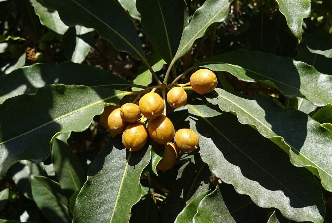 buah tanjung
