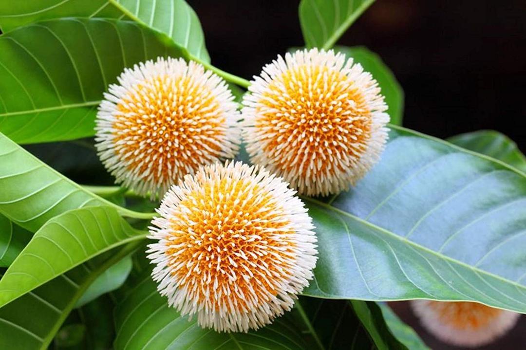 bunga jabon