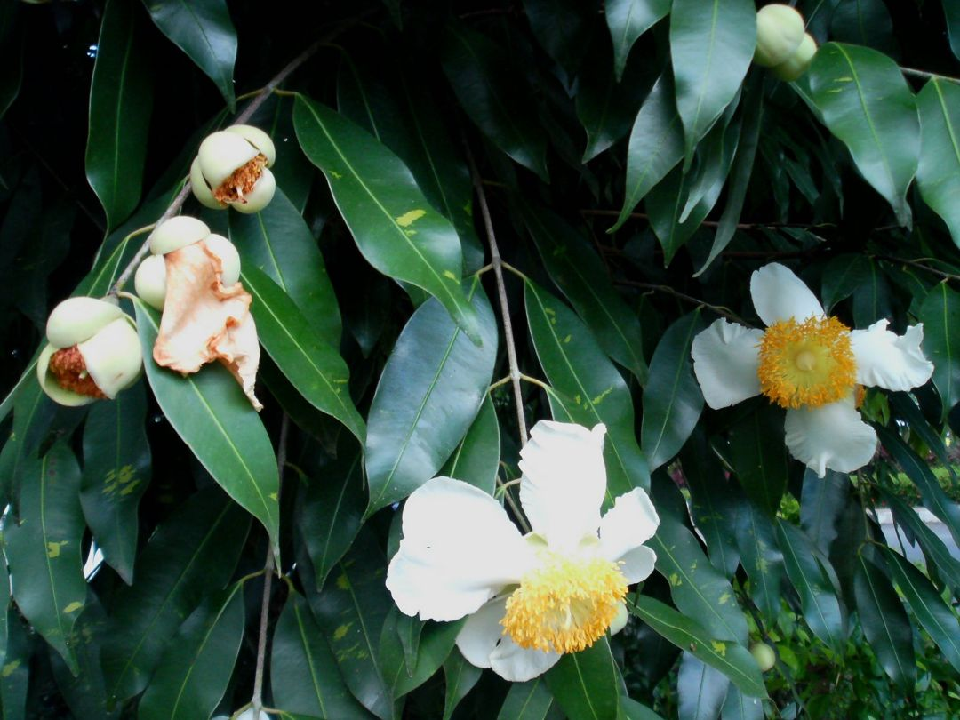 bunga nagasari