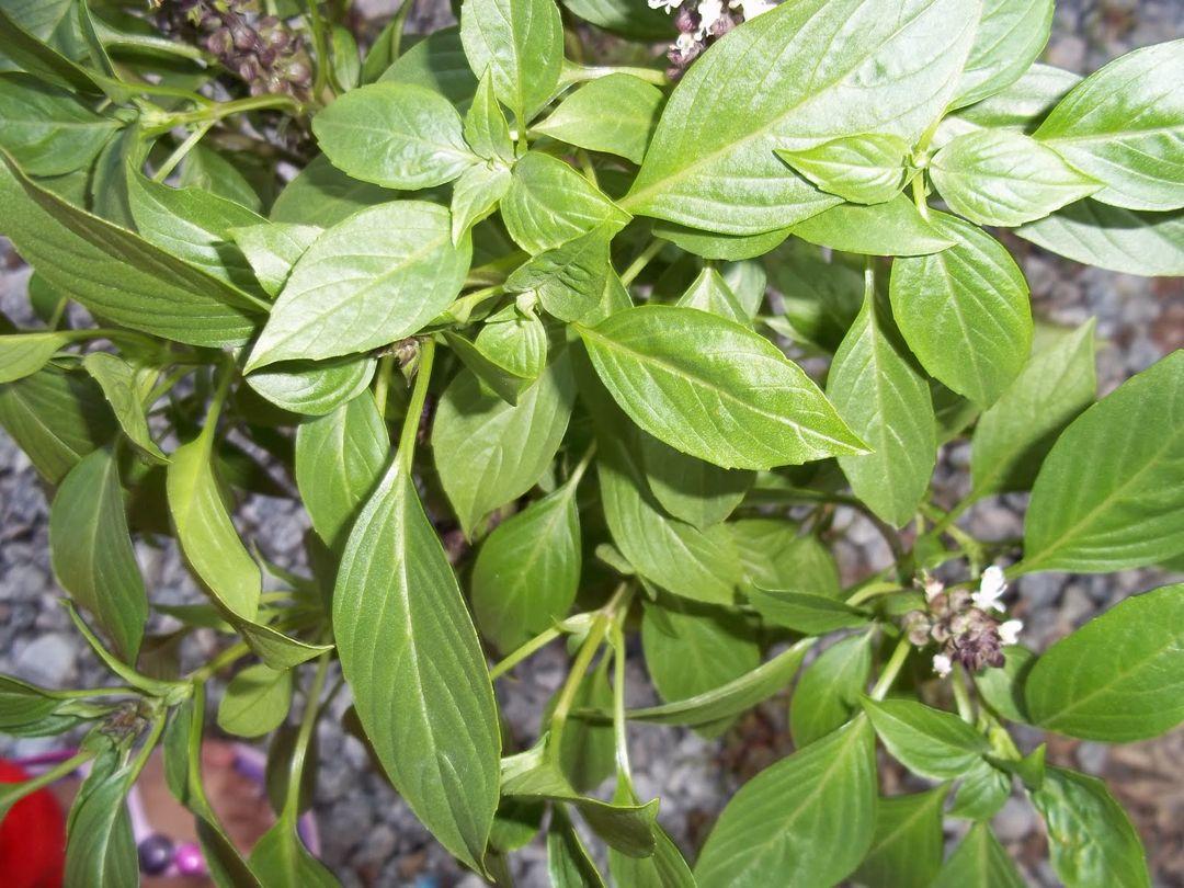 pohon selasih