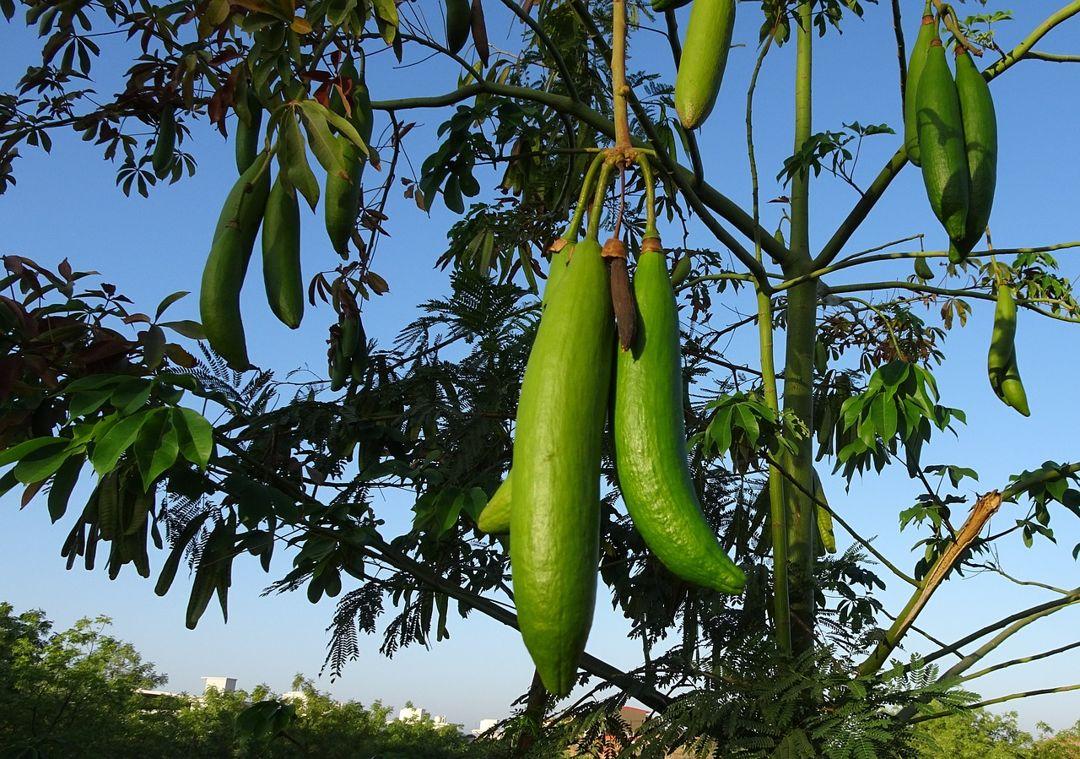 buah kapuk