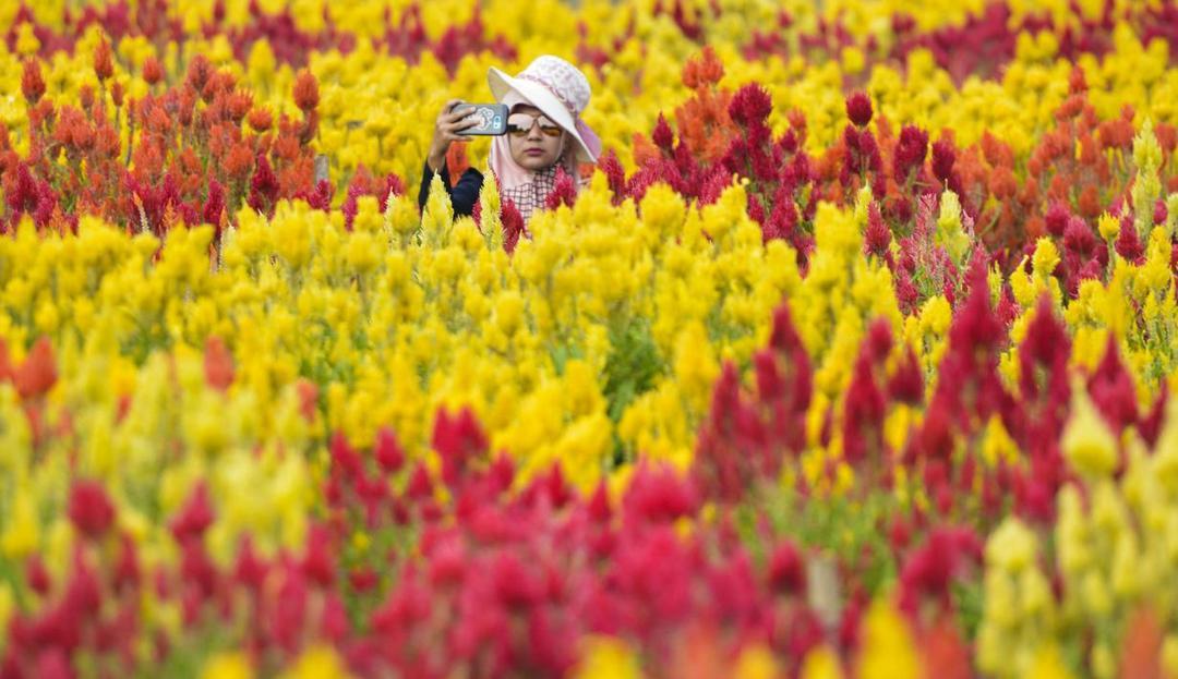 kebun bunga celosia