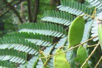 pohon secang