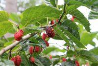 buah murbei