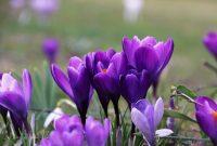 bunga safron