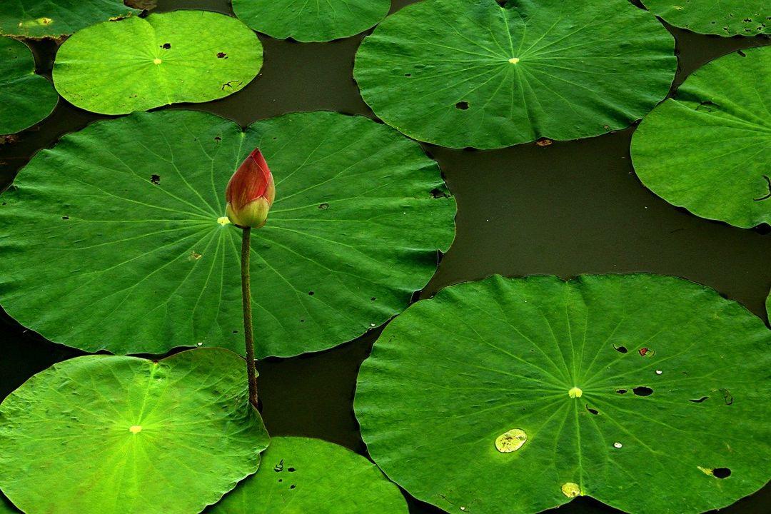 daun lotus