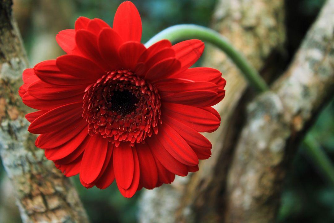 Bunga Gerbera Asal Habitat Arti Warna Cara Budidaya