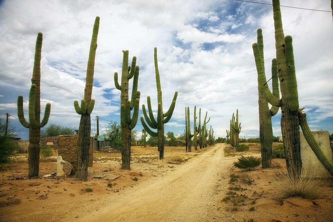 kaktus gurun