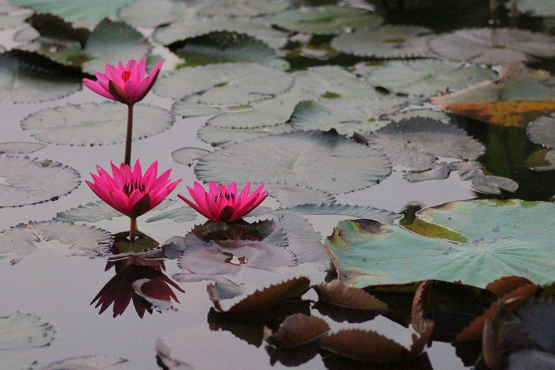 menanam lotus