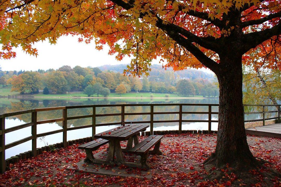 pohon maple