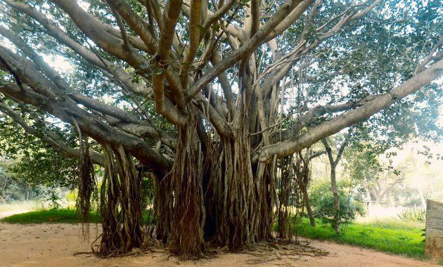 Pohon Beringin Taksonomi Morfologi Habitat Manfaat Mitos
