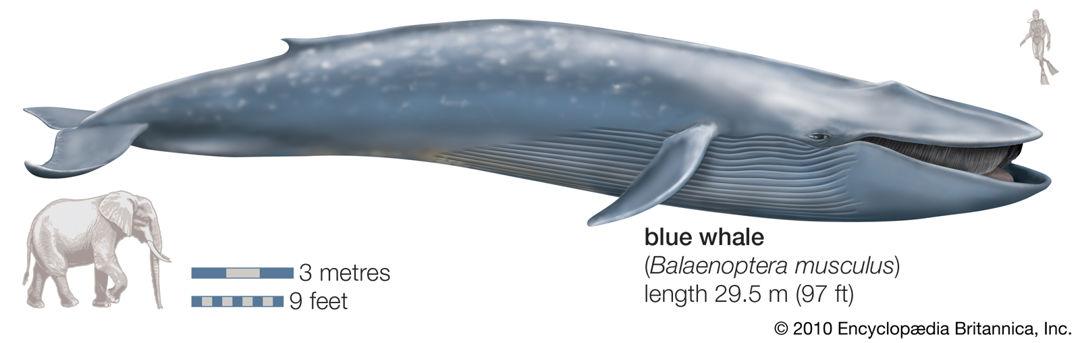 ukuran paus biru