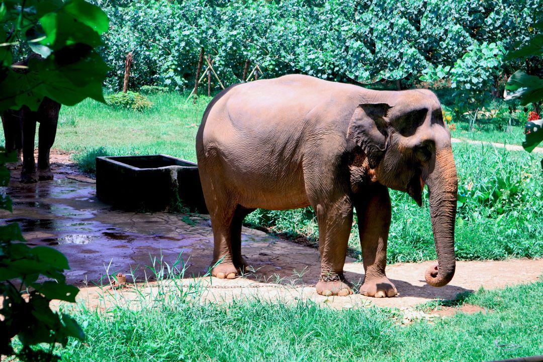Elephas maximus-sumatranus