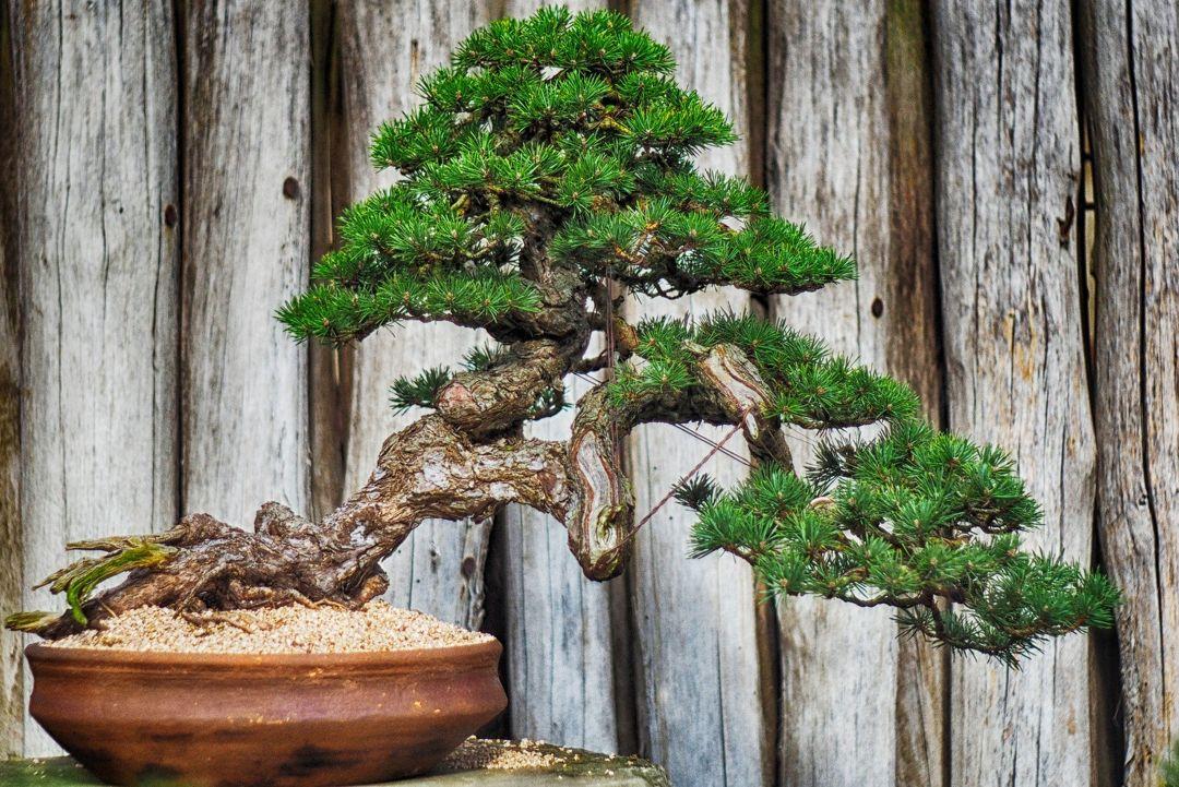 membuat bonsai