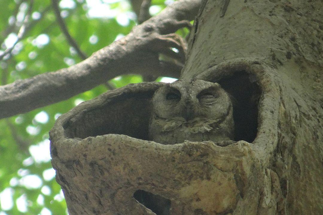 Burung Hantu Celepuk Reban