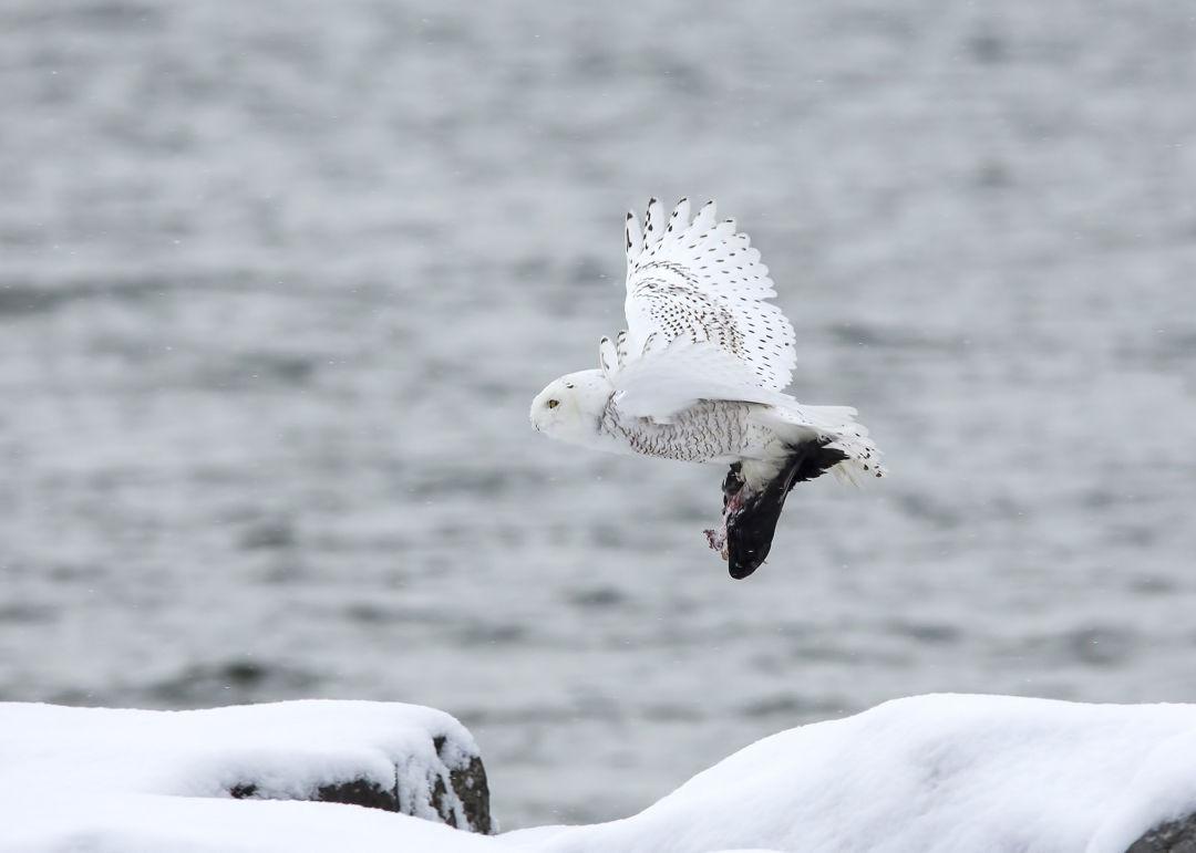 Burung Hantu Salju Putih