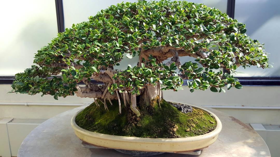 Bonsai Beringin Langkah Pembuatan Perawatan Dan Jenisnya