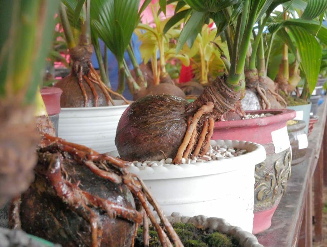 bonsai pohon kelapa